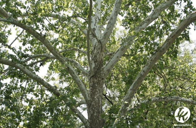 Buah Pohon
