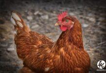 Bilal Berkurban Ayam