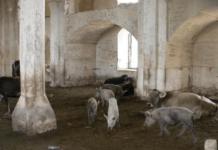 Masjid Aqdam Dijadikan Kandang Babi