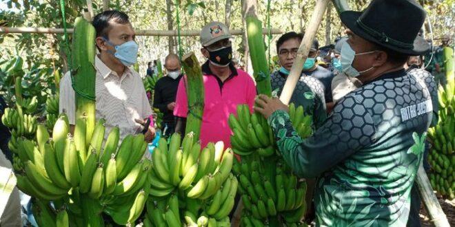 Alumni Pesantren jihad ekonomi dengan budidaya pisang cavendish